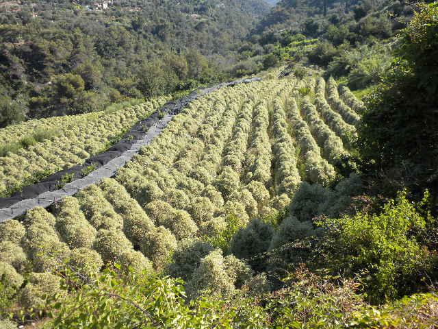Terreno Agricolo in vendita a Vallebona, 9999 locali, zona Località: MadonnadellaNeve, prezzo € 165.000 | Cambio Casa.it
