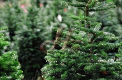 Lotti Alberi di Natale  Blue Spruce in vendita Germania